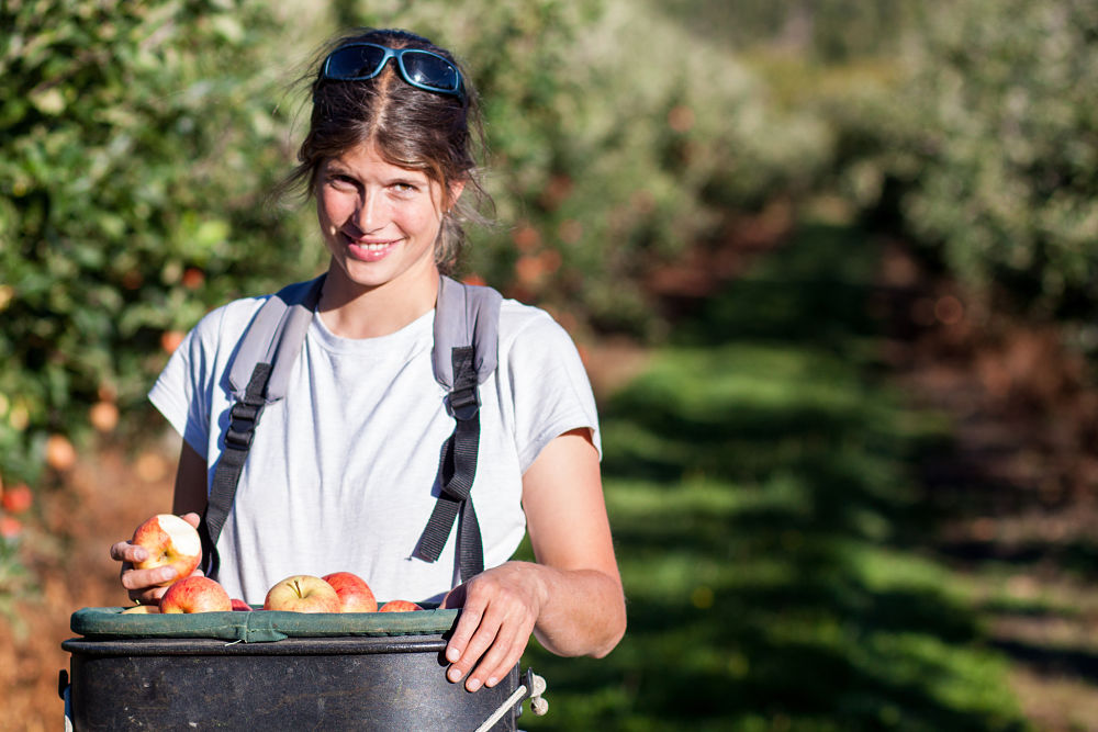 faire du fruit picking en Nouvelle-Zelande avec un visa pvt