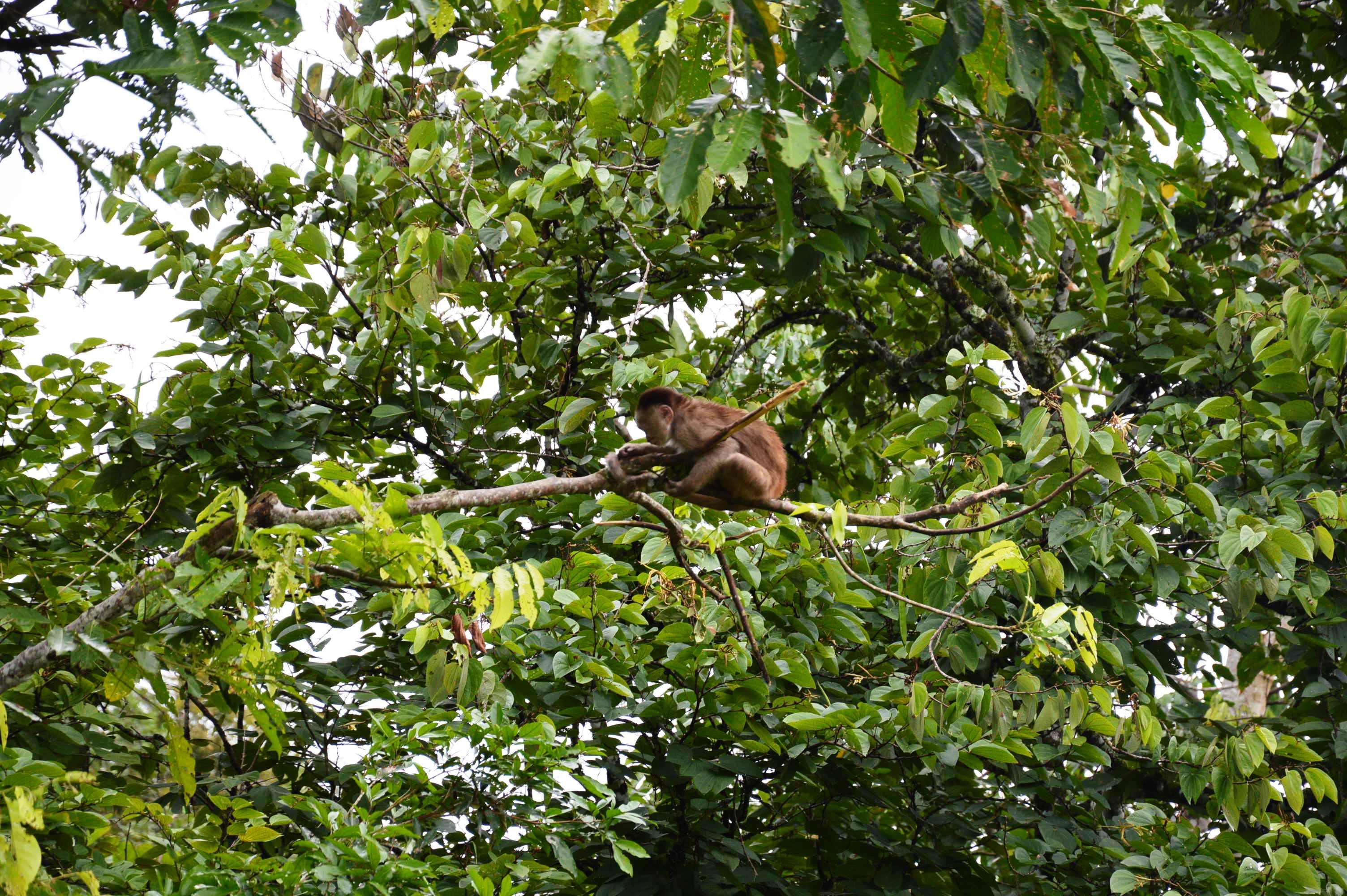 singe dans la foret amazonienne