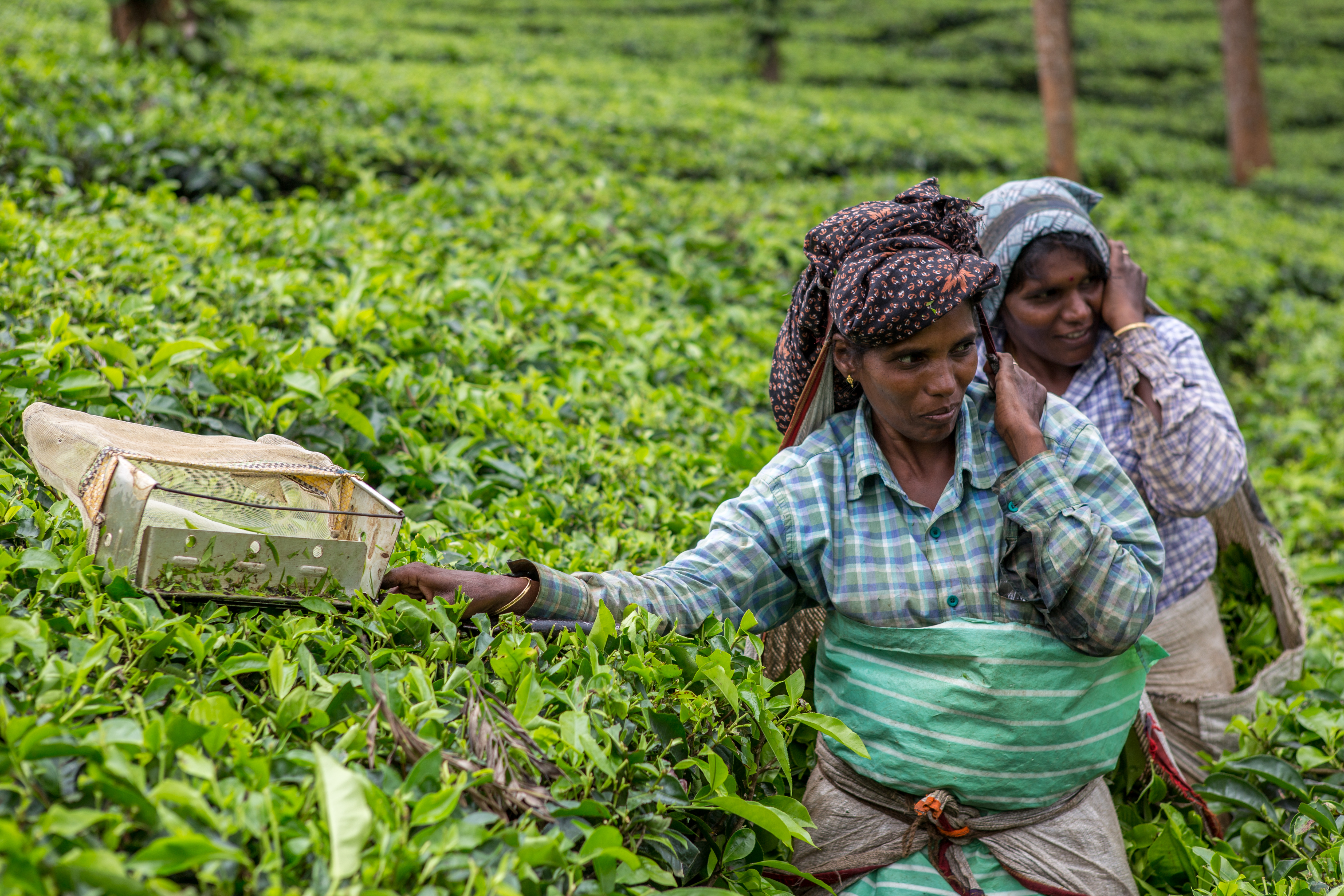 femmes dans les plantations de thé en Inde