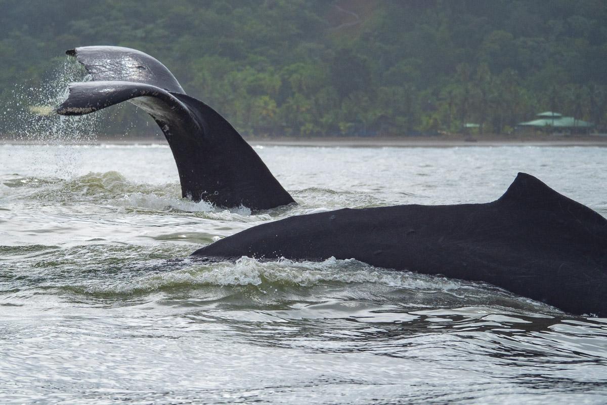 observer les baleines du Pacifique dans le Chocó en Colombie